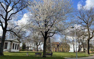 06.04.21 Kirschblüte, Start der Volltracht im Frühling.