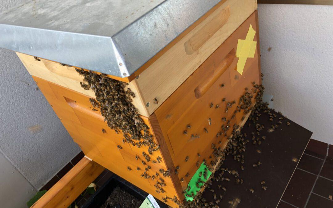 06:00 Uhr am Morgen die meisten Bienen verlassen den Stock – keine Räuberei – merkwürdig –
