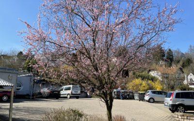 05.04.21 Trachtpflanzen für Bienen im Frühling