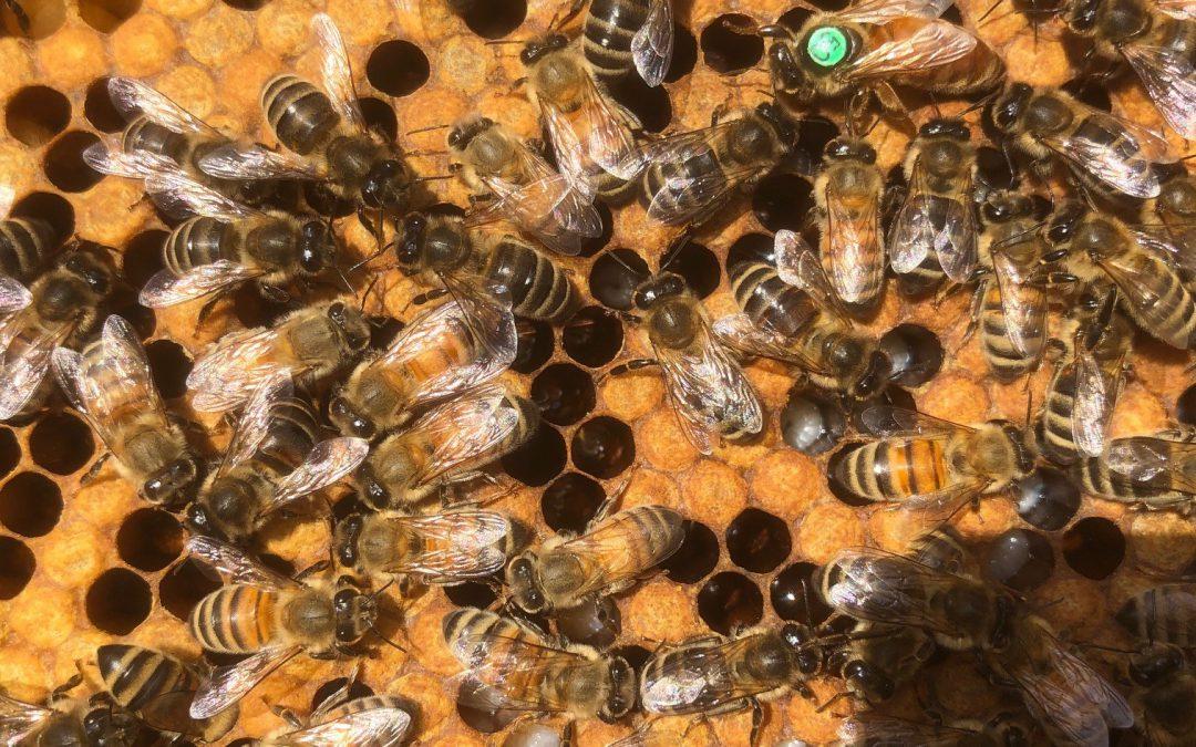 Buckfast Pflegebienen