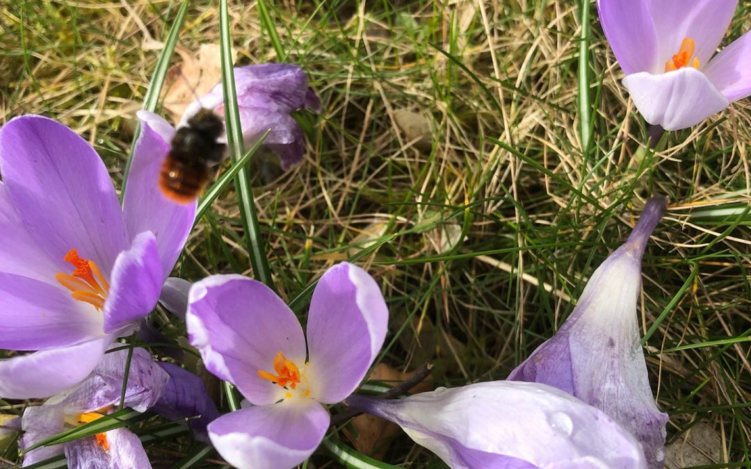 Wildbienen unterwegs.. hier die Mauerbiene