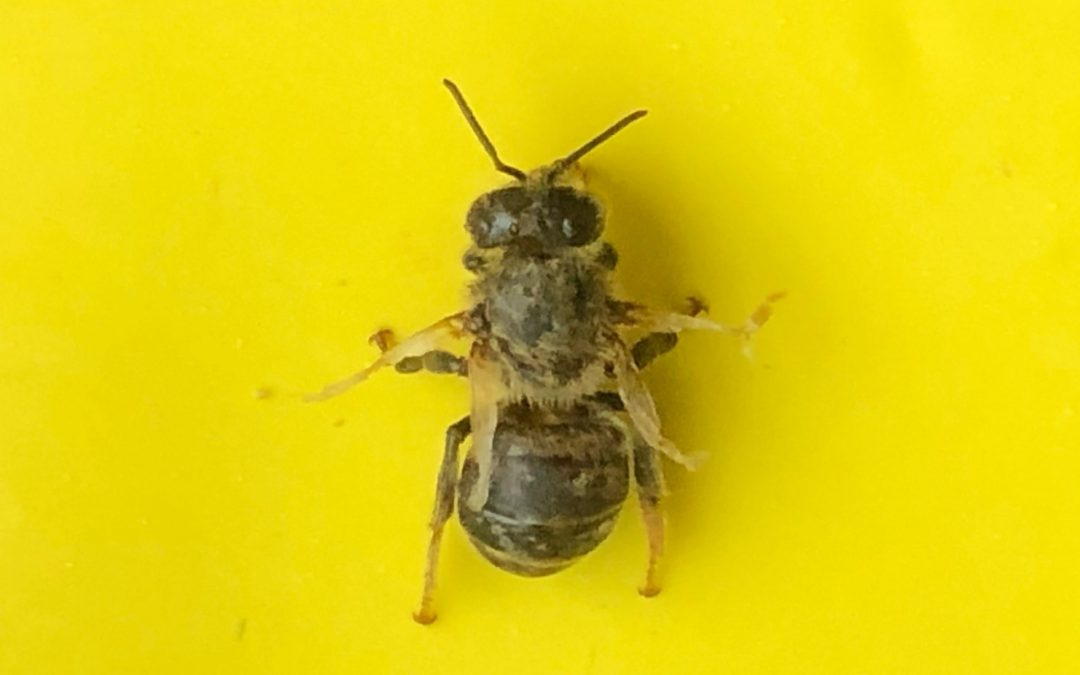 Varroaschaden auf einem unserer Bienchen